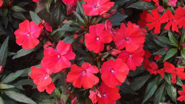 New Guinea impatiens: how to grow and care for New Guinea impatiens