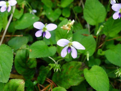 Viola diffusa