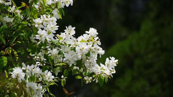 Exochorda racemosa (Common Pearlbush) profile