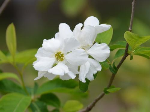 Common Pearlbush