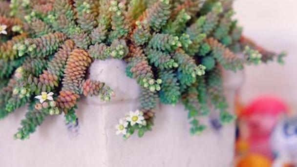 Corsican Stonecrop (Sedum dasyphyllum) profile