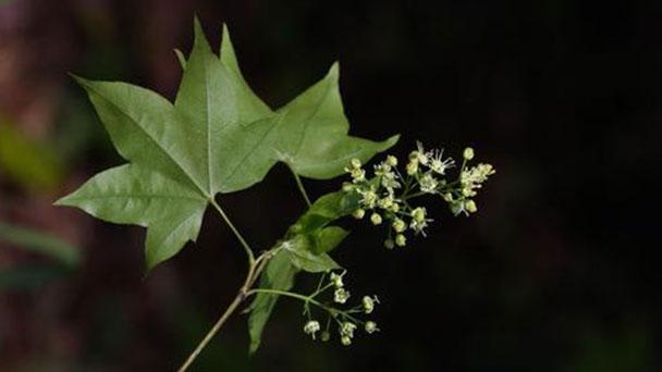 Elegant maple (Acer elegantulum) profile