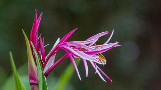 Giant spider lily (Crinum amabile) profile