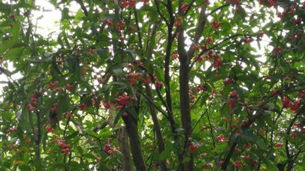 Java apple (Syzygium samarangense) profile