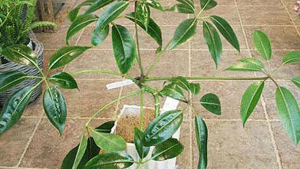 Tupidanthus Calyptratus Profile