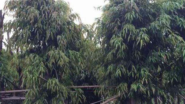 Weeping Fig (Ficus Benjamina) Profile