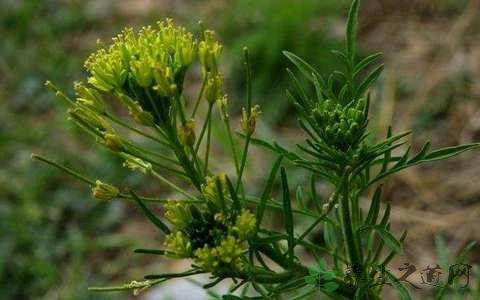 Woodland Draba