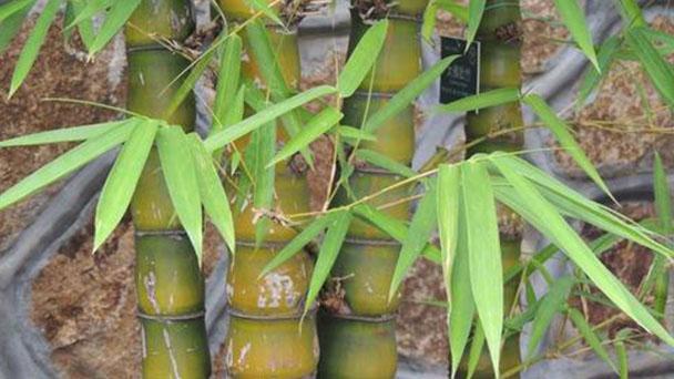 Buddha belly bamboo (Bambusa ventricosa) profile