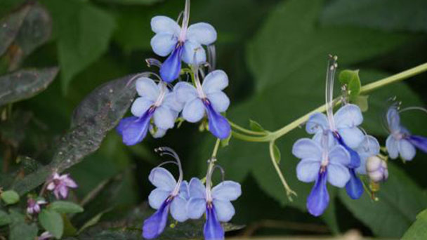 Butterfly bush (Clerodendrum ugandense) profile
