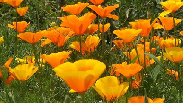 California poppy (Eschscholzia californica) profile
