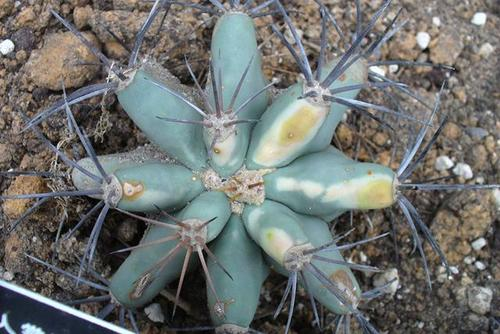 Emory's Barrel Cactus