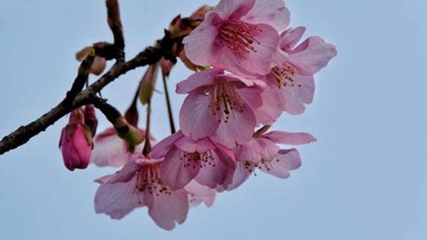 Higan cherry (Cerasus subhirtella) profile