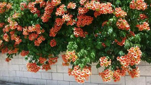 Trumpet vine (Campsis radicans) profile