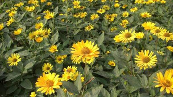 Heliopsis helianthoides (False sunflower) profile