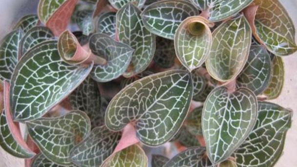 Jewel orchid (Ludisia discolor) profile