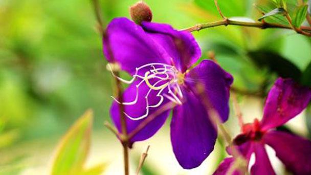 Princess flower (Tibouchina urvilleana) profile