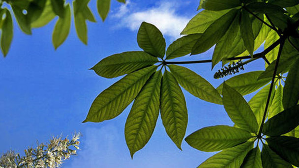 Aesculus chinensis (Chinese horse chestnut) profile