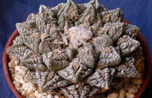 Ariocarpus fissura