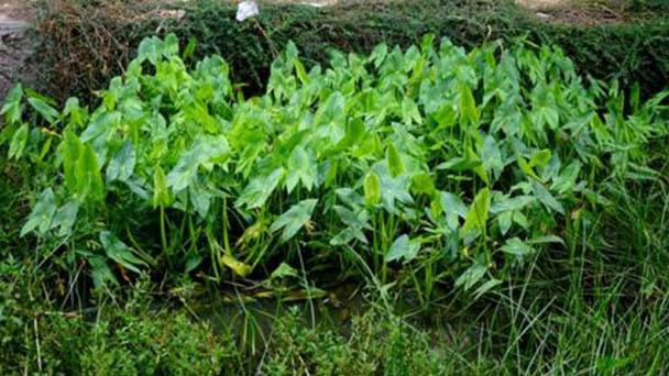 Arrowhead (Sagittaria sagittifolia) profile