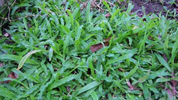 Broadleaf carpet grass (Axonopus compressus) profile