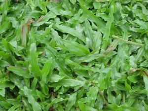 Broadleaf carpet grass