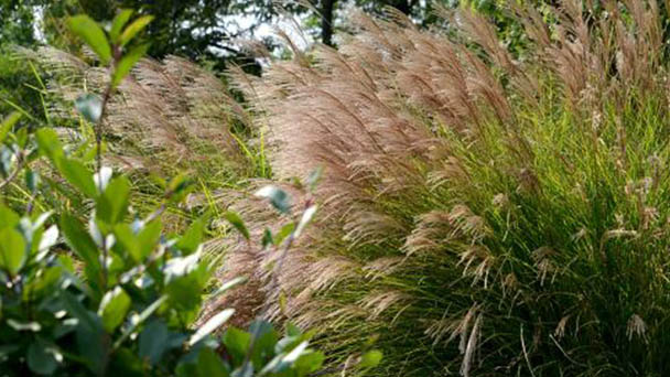 Chinese silver grass (Miscanthus sinensis) profile