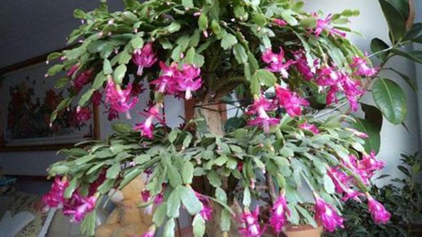 Christmas cactus (Schlumbergera) profile