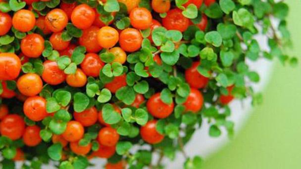 Coral bead plant profile