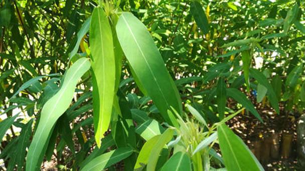 Dancing plant (Codariocalyx motorius) profile