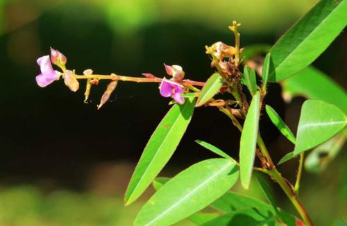 Dancing Plant