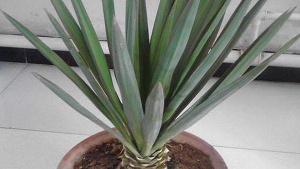 Yucca elephantipes (Spineless yucca) profile