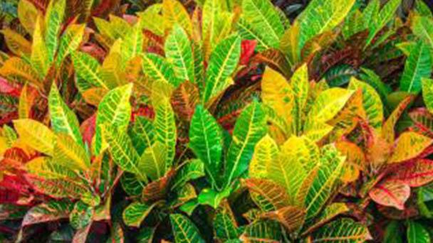 Croton (Codiaeum variegatum) profile