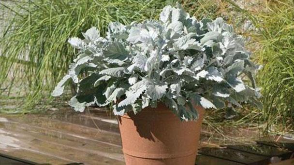 Dusty Miller (Jacobaea Maritima) Profile