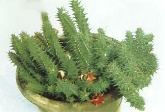 Duvalia elegans