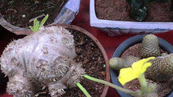 Pachypodium brevicaule profile