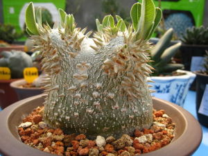 Pachypodium brevicaule