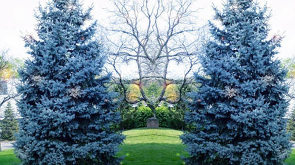 Blue spruce (Picea pungens) profile