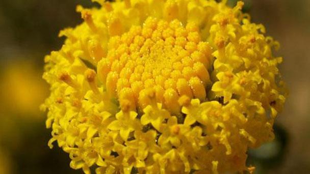 Lavender cotton (Santolina chamaecyparissus) profile