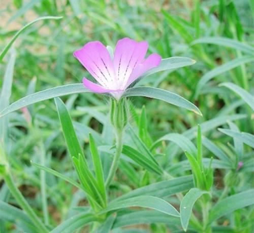 Agrostemma Githago