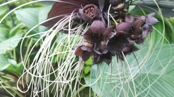 Bat flower (Tacca chantrieri) profile