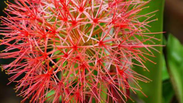 Blood lily (Haemanthus multiflorus) profile