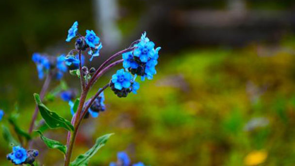 Chinese forget-me-not (Cynoglossum amabile) profile