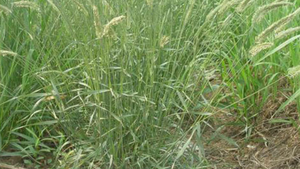 Crested wheatgrass (Agropyron cristatum) profile