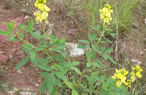 Crotalaria pallida