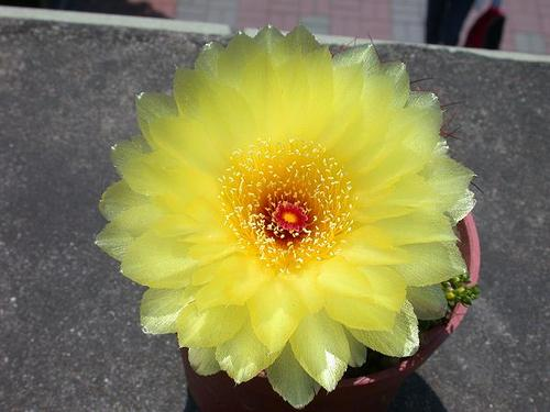 Indian head cactus