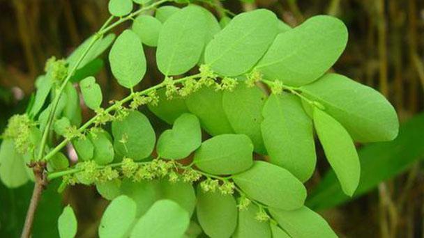 Phyllanthus urinaria (Chamberbitter) profile