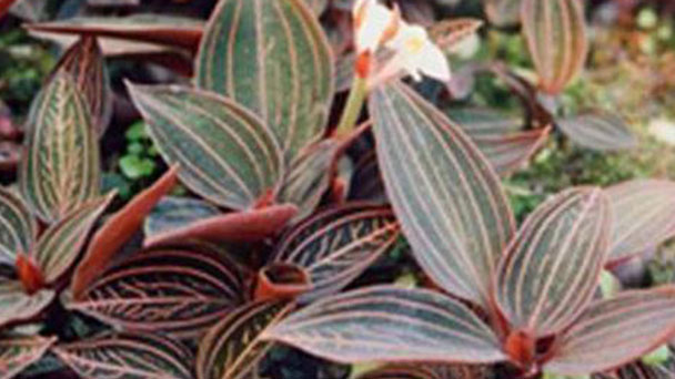 Teucrium japonicum profile