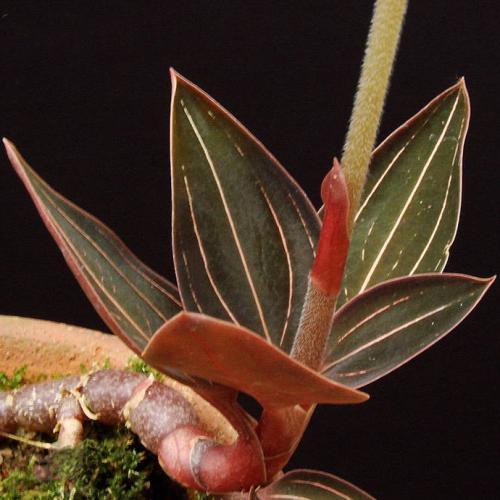 Teucrium japonicum