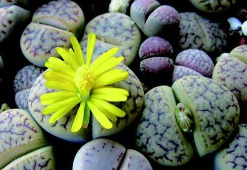 Truncate living stone