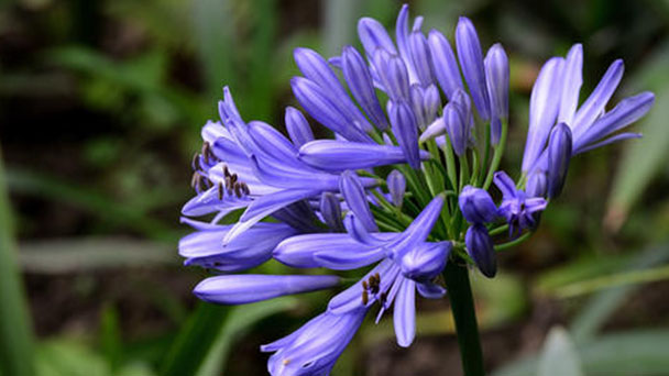 African lily (Agapanthus africanus) profile